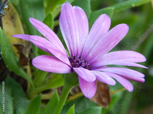 canvas print picture Violet flower