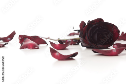 Staande foto Roses Black Baccara Rose and petals