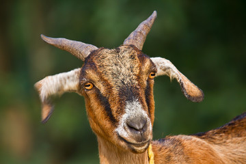 Portrait of domestic goat in Bardia, Nepal