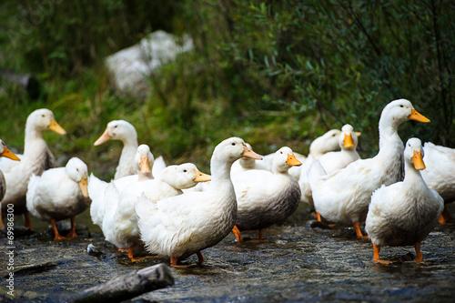 Fotobehang Ducks floats on water