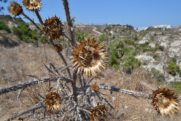 Dry spiny flower