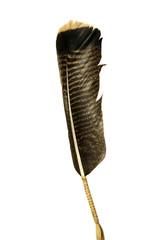 Wild Turkey Tail Feather on a white background