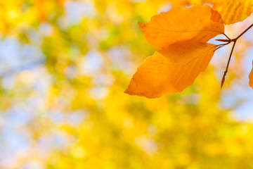 yellow leaves in autumn park