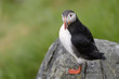 Atlantic Puffin standing cliff edge.