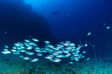 School snapper fish underwater in Koh Tao, Thailand