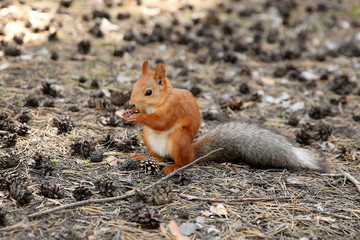 Squirrel in the wood