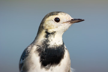 Juvanile White Wagtail