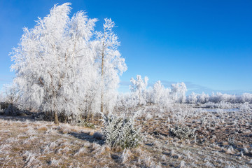 Hoarfrost covered grove