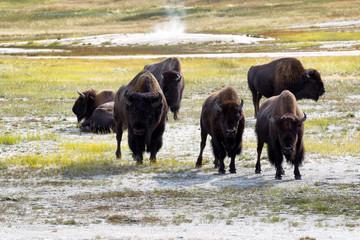 Mature North American Buffalo expressing anger