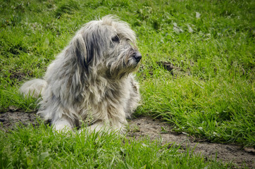 watchful romanian shepherd dog on the green grass