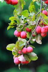 ripe crab apples