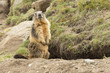 canvas print picture - Isolated marmot portrait outside its nest