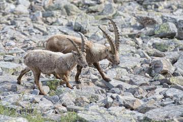 Isolated ibex deer long horn sheep Steinbock