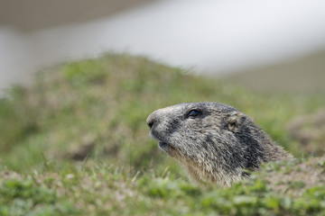 Isolated marmot portrait outside its nest