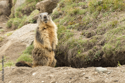 canvas print picture Isolated marmot portrait outside its nest