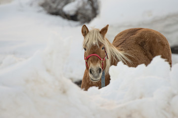 Horse portrait on the white snow while looking at you