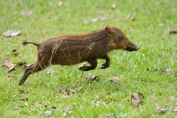 Jumping piglet