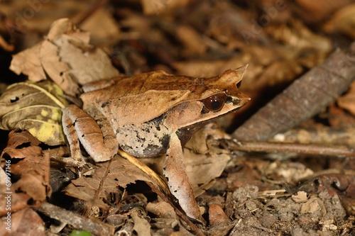 Horned frog - 69997146