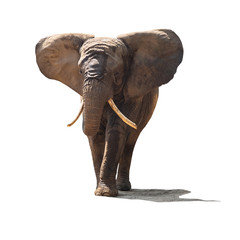 Elephant isolated on white