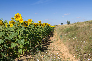 Sunflower in cultivated agricultural field