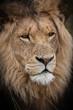 male lion head
