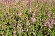 Flowers Knotweed or Polygonaceae.