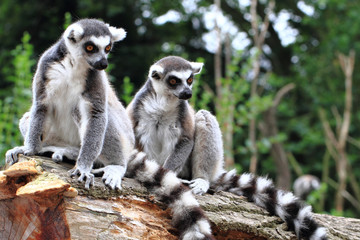 two lemur monkeys are resting