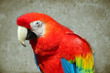 Parrot - Red Macaw on background of aged paper