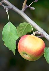 Apple on tree branch.