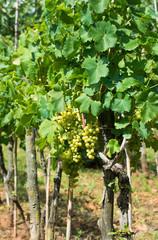 Reife Weintrauben auf Weinstöcken