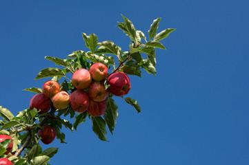 Äpfel am Baum vor blauem Himmel