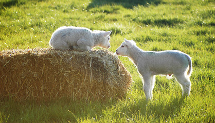 Little two sheep