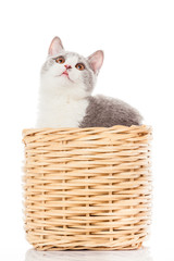 British shorthair cat on a white background. british cat isolate