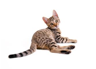 Liegende, junge Bengalkatze