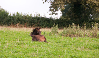 Foal having a rest