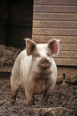 Tamworth Pig