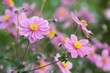 Anemone japonica - Group