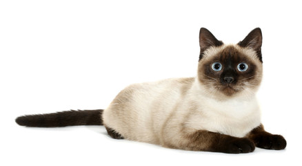 Brown beige cat with blue eyes lies down