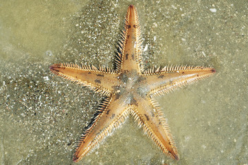 Astropecten spiny sea star on silty bottom