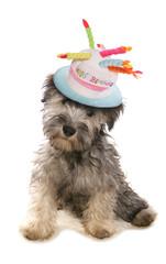 Schnauzer Puppy dog wearing a birthday hat
