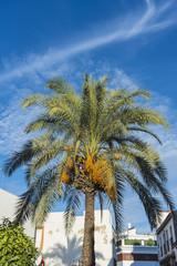 Palm Tree in Cordoba,, Spain.