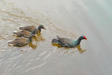 Filhote de galinha-d'água