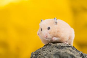 Golden Hamster on Golden Background