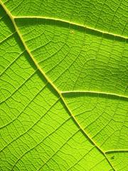 Green Teak leaf close up