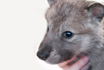 Grey Wolf (Canis lupus) Pup Head