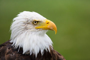 Eagle Profile