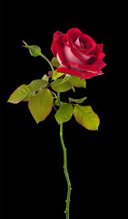 Graceful rose gently in red .isolated