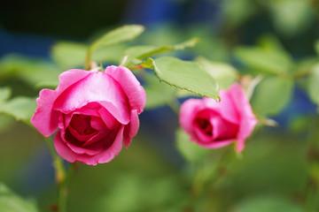 Pink rose in the garden in summer.