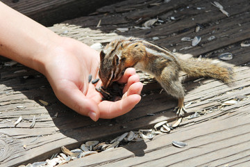 Chipmunk / Squirrels - Saint Elmo (Colorado)