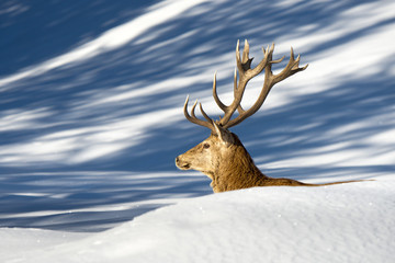 Deer on the snow background